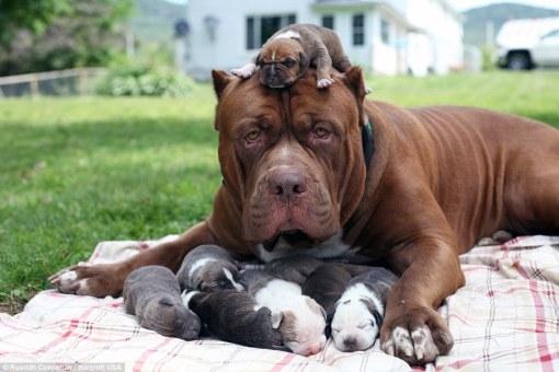pitbull_biggest