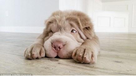 teddy_bear_puppy