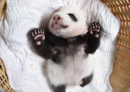 cool_as_a_panda
