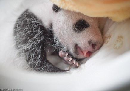 cool_as_a_panda2