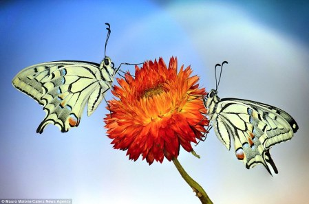 double_butterfly
