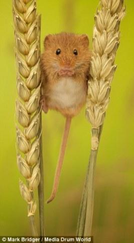 harvest_mouse