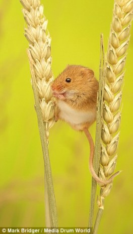 harvest_mouse2
