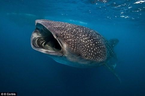 whale_sharks