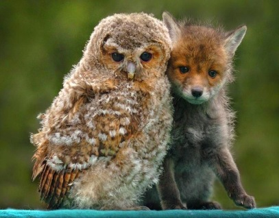fox_owl