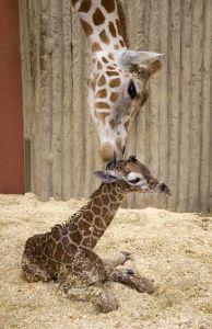 baby_giraffe_1_opt