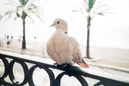 turtledove-3