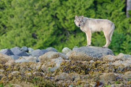 01-coastal-wolves-bertie-gregory-ngsversion-1470232803090-adapt-470-1
