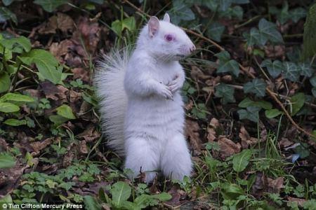 albino_rodent