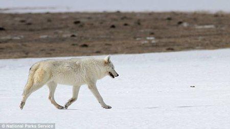 white_wolf.jpg