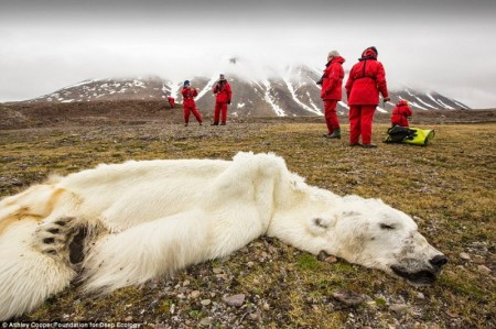 polar_bear_starved_norway