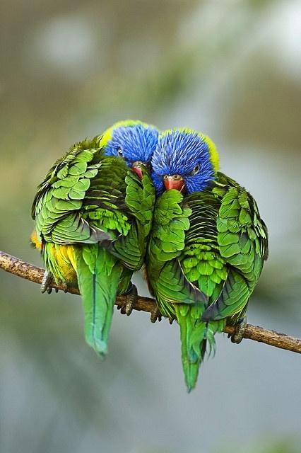 oiseaux_amoureux