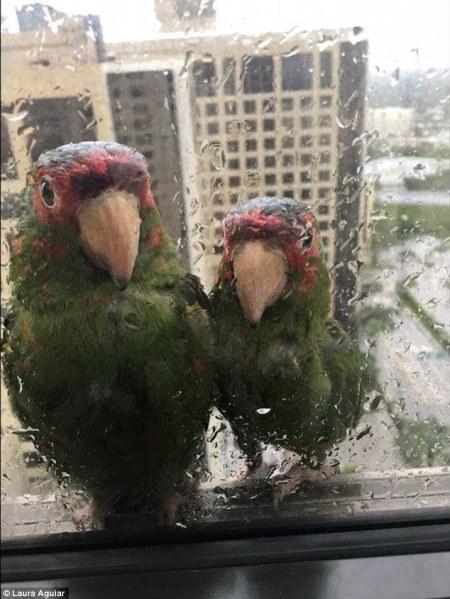parrots_irma_hurricane